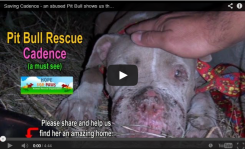 Pitbull Rescue October 13, 2013